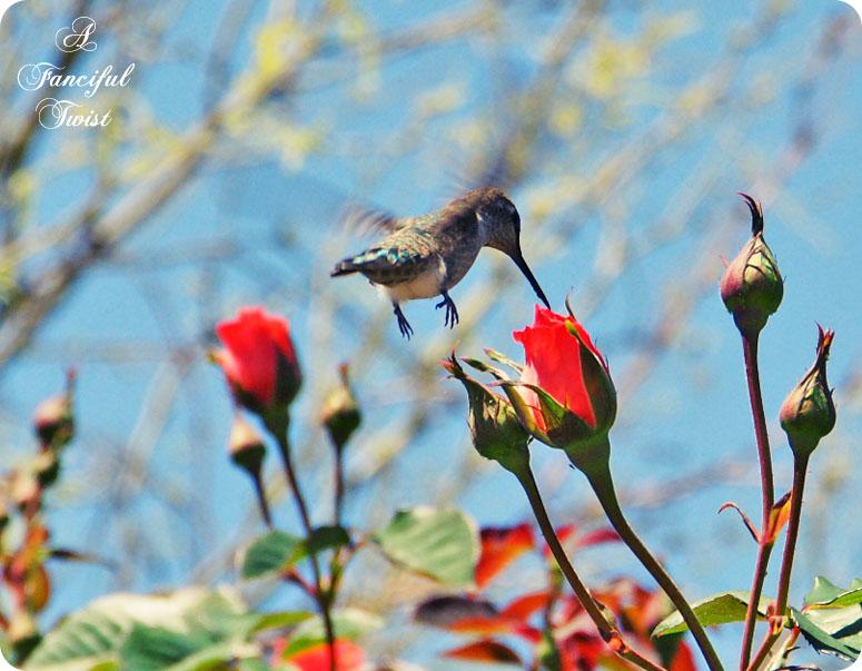 Hummingbird bliss 12