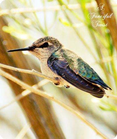 Hummingbird bliss 1