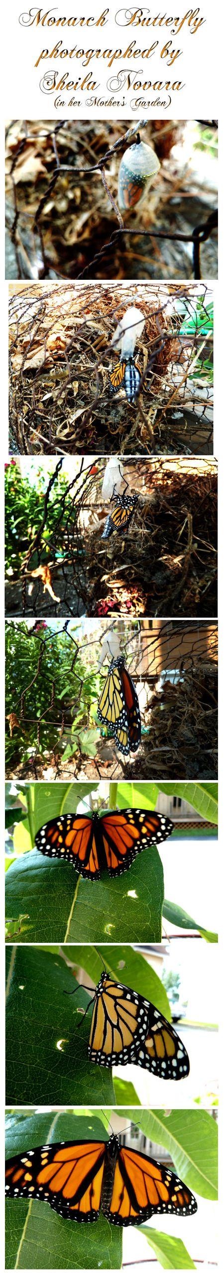 Morning Miracles Sheila Novara Monarch Butterfly