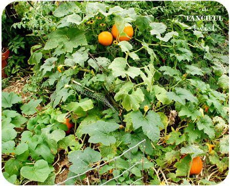 Pumpkin 8a