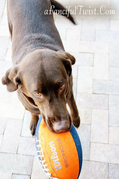 Chocolate Lab Tucson Coco Missing 3