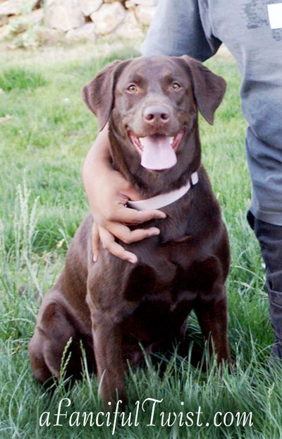 Chocolate Lab Tucson Coco Missing 4
