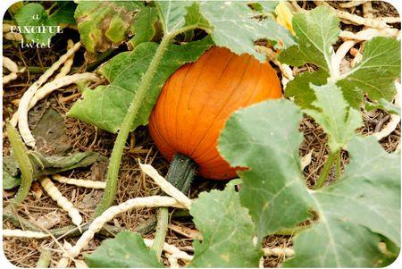 Pumpkin 7a