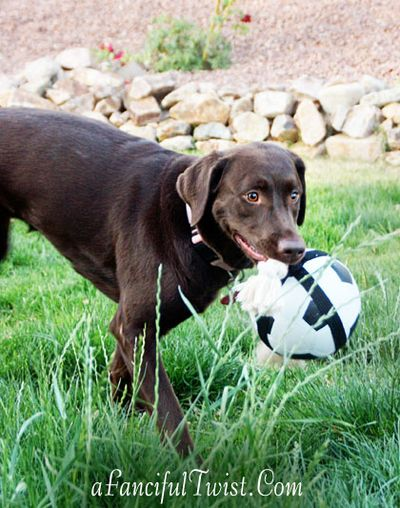 Chocolate Lab Tucson Coco Missing 2