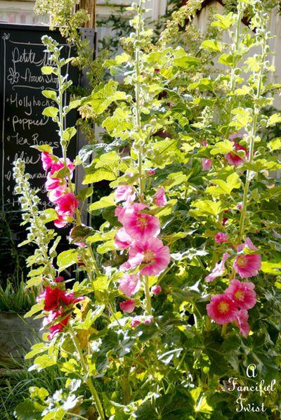 Hollyhock garden 8a