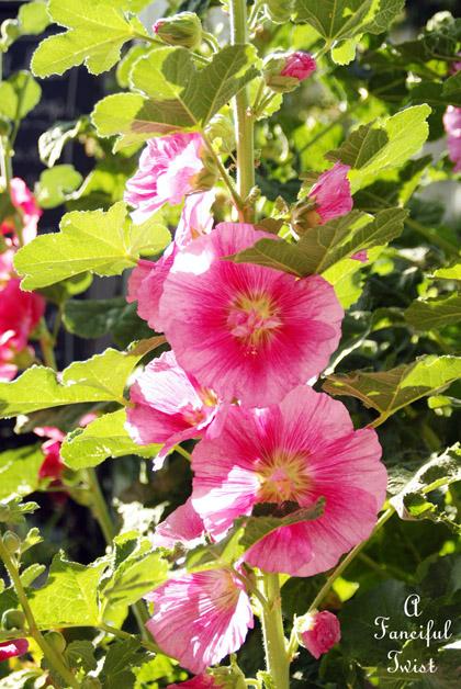 Hollyhock garden 4a