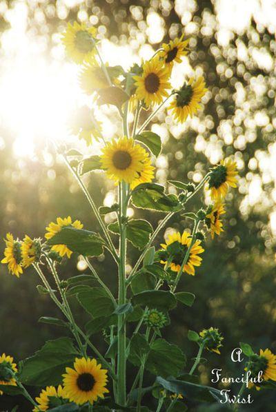 Pumpkins and sunflowers 7