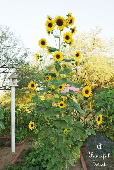 Pumpkins and sunflowers 3