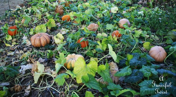 Pumpkin Picking Day 6
