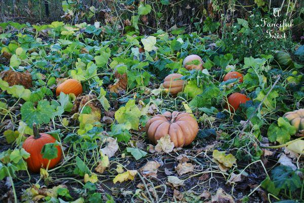 Pumpkin Picking Day 5