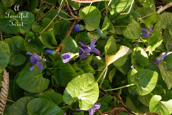 Candied violets 4