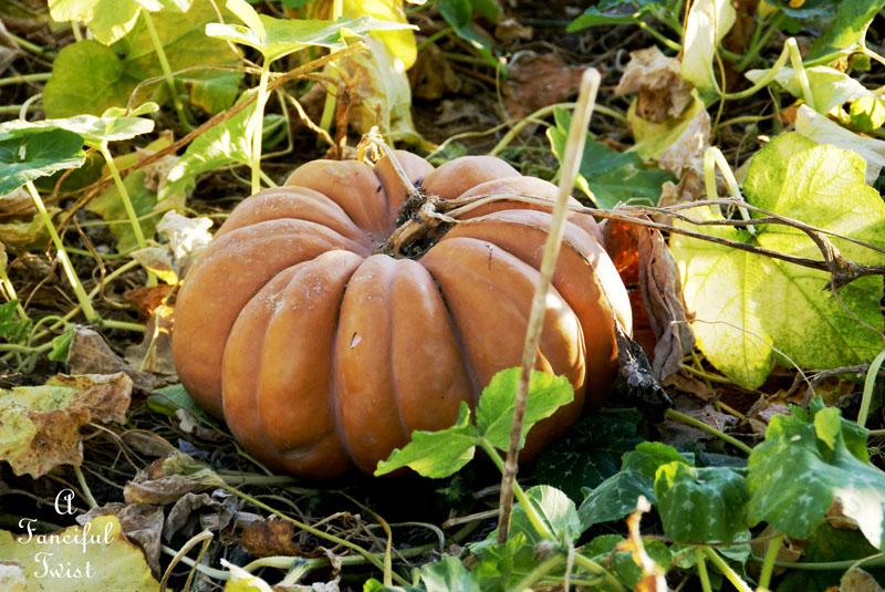 Pumpkin Picking Day 9