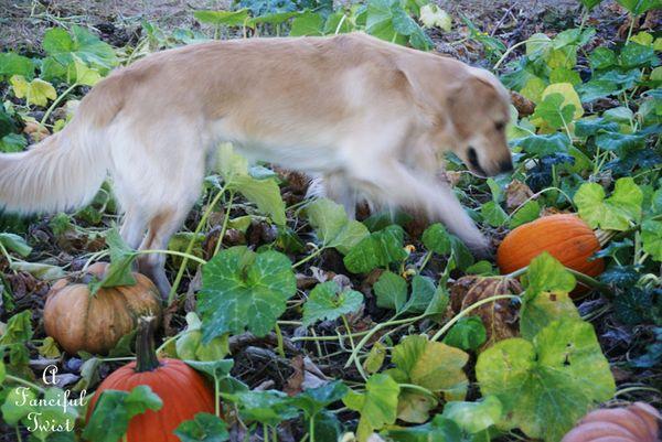 Pumpkin Picking Day 3