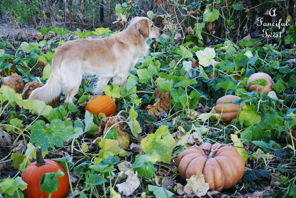 Pumpkin Picking Day 2
