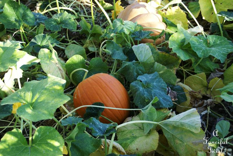 Pumpkin Picking Day 11