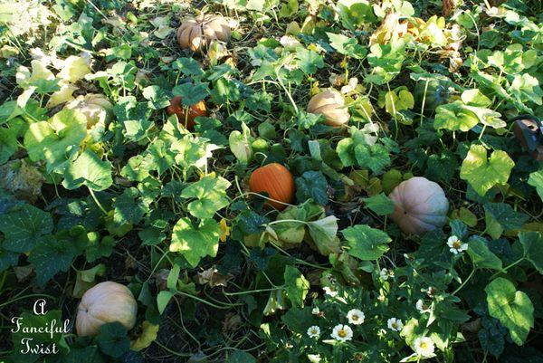 Pumpkin Picking Day 7