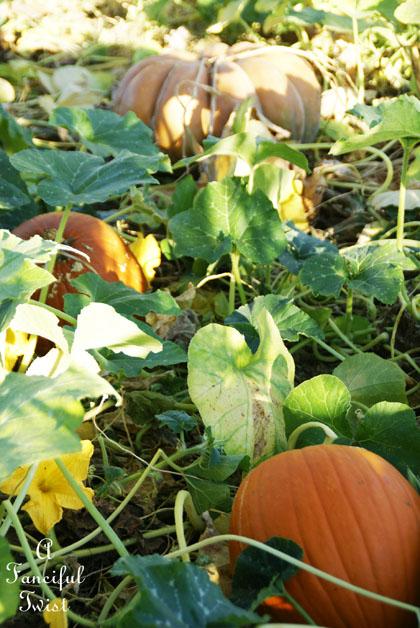 Pumpkin Picking Day 14