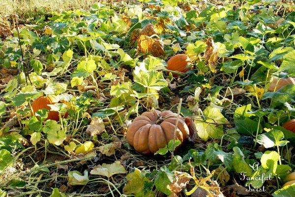 Pumpkin Picking Day 10