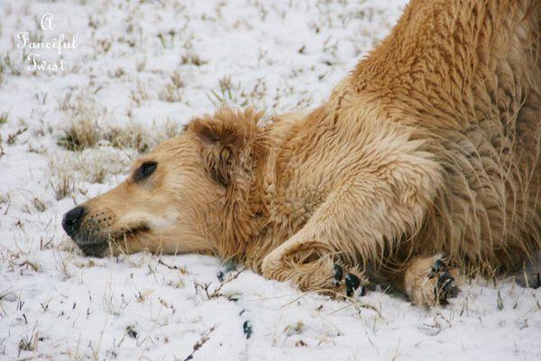 Snow dogs 3