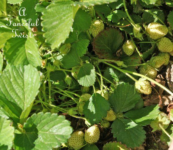 Berries and cream 13