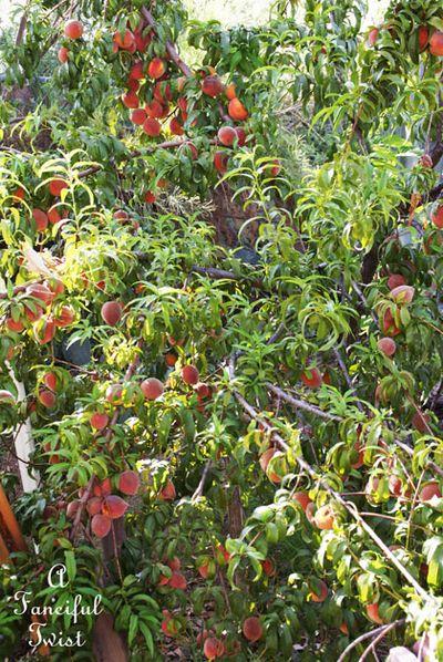 Peach tree in my garden