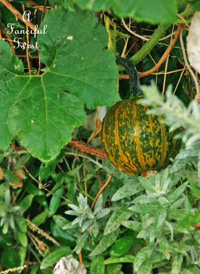 Pumpkin days 15