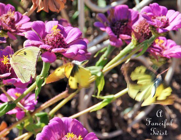 Butterflies flutter around 1