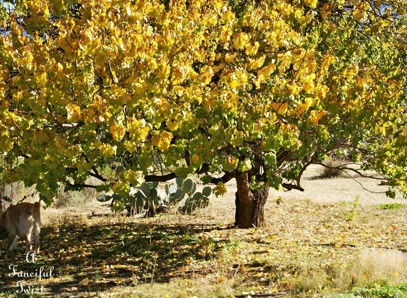 Apricot tree 2