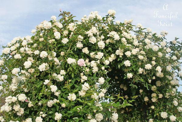 Rose arbor 9