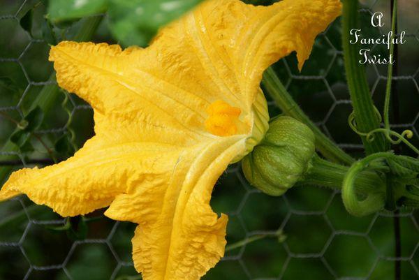 Pumpkin pollinating 3