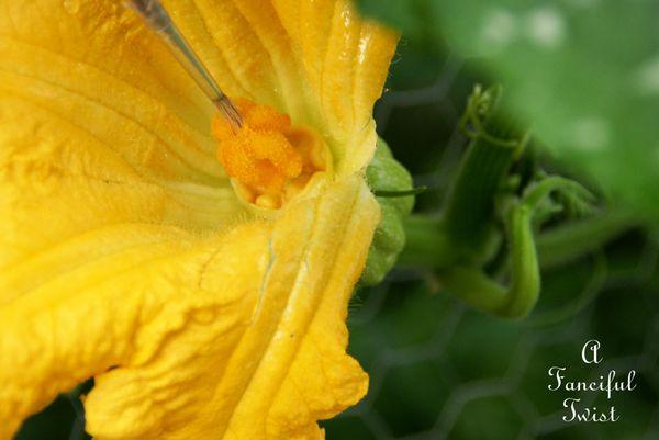 Pumpkin pollinating 6