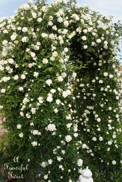 Rose arbor 10