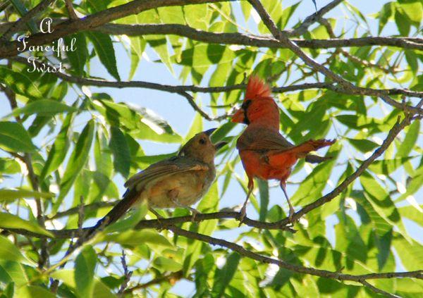 Cardinal dad feeds baby 1