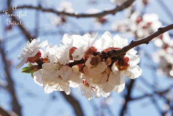 Blossoms 7