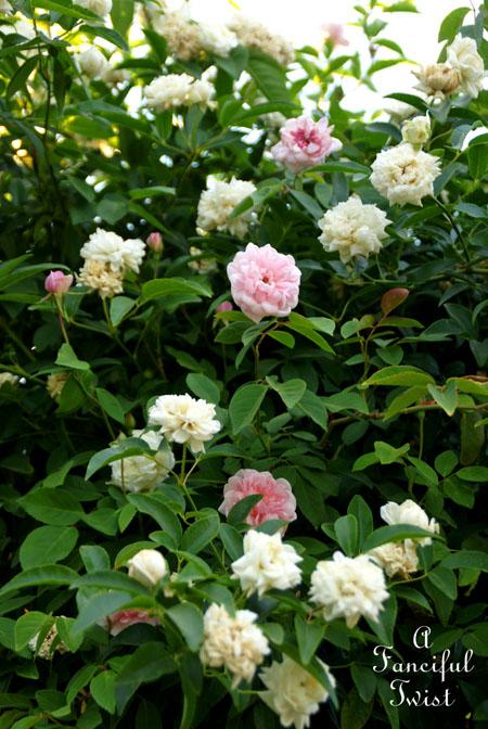 Rose arbor days 6