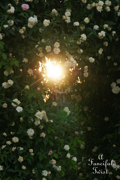 Rose arbor days 12