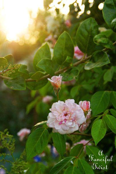 Rose arbor days 7