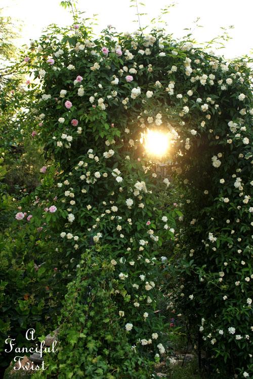 Rose arbor days 13
