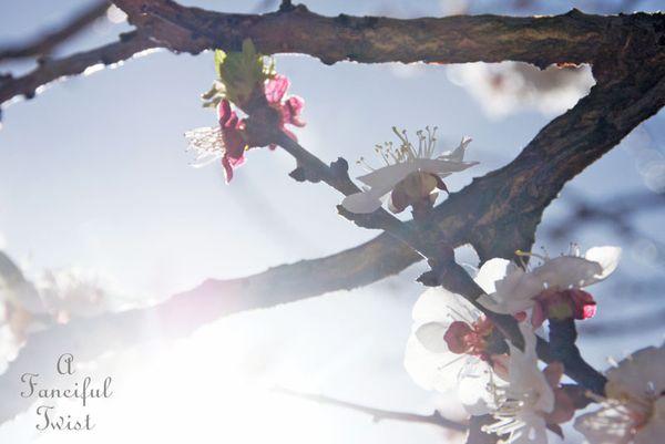 Blossoms 8