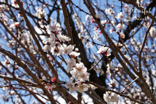 Blossoms 6