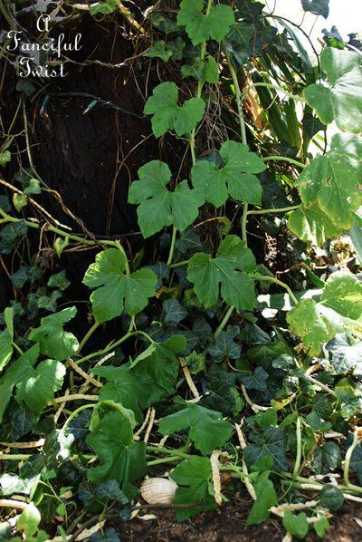 Pumpkin vine 6