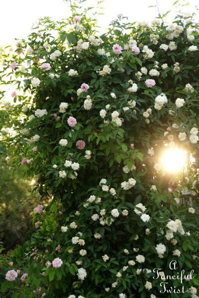 Rose arbor days 14
