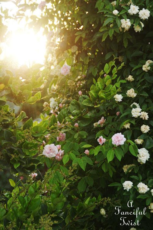 Rose arbor days 9