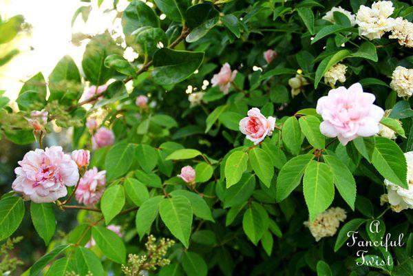 Rose arbor days 4