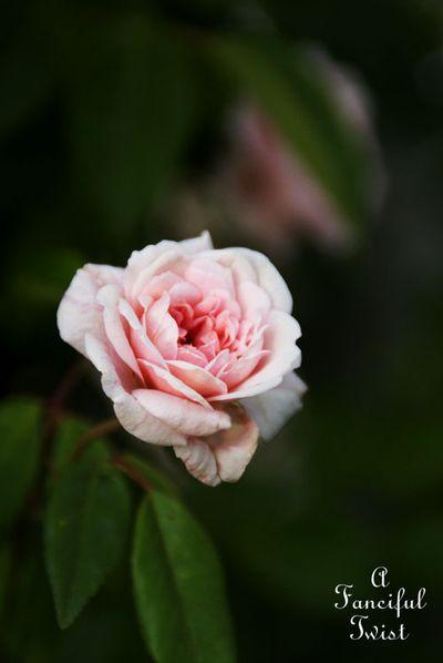 Rose arbor days 15