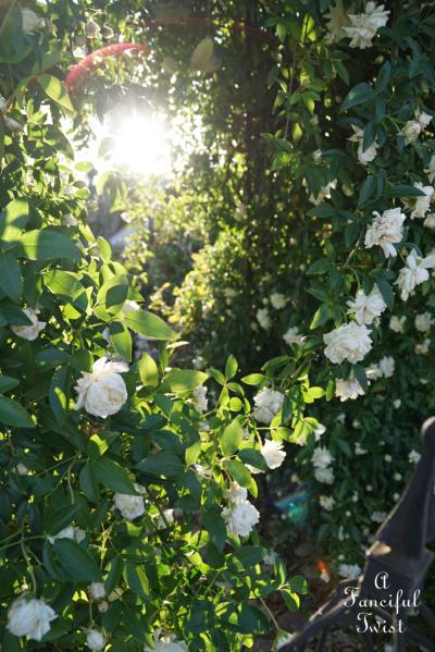 Rose arbor 12