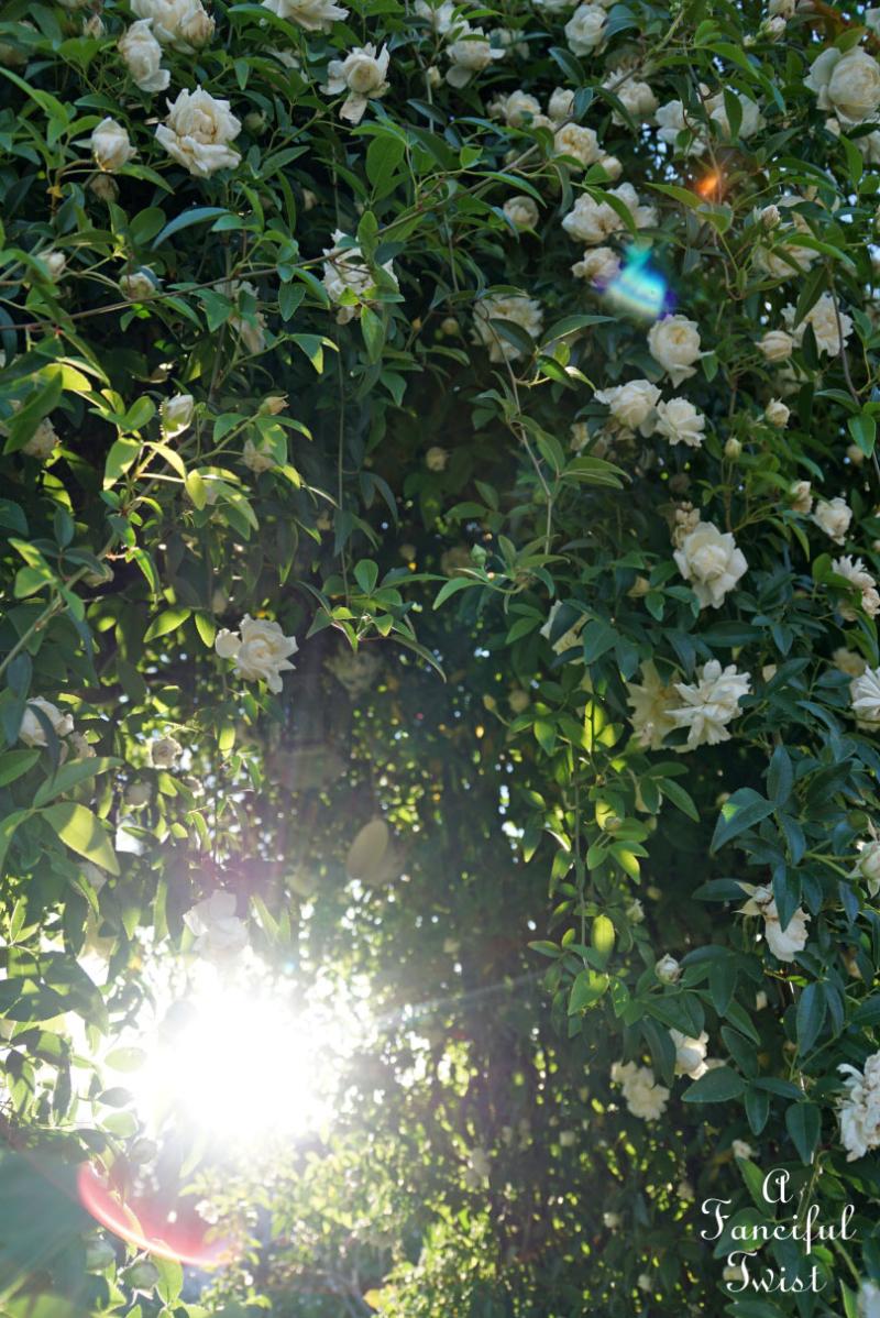 Rose arbor 15