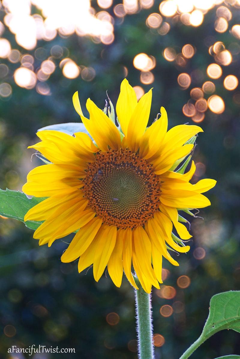 Sunflower summer 3