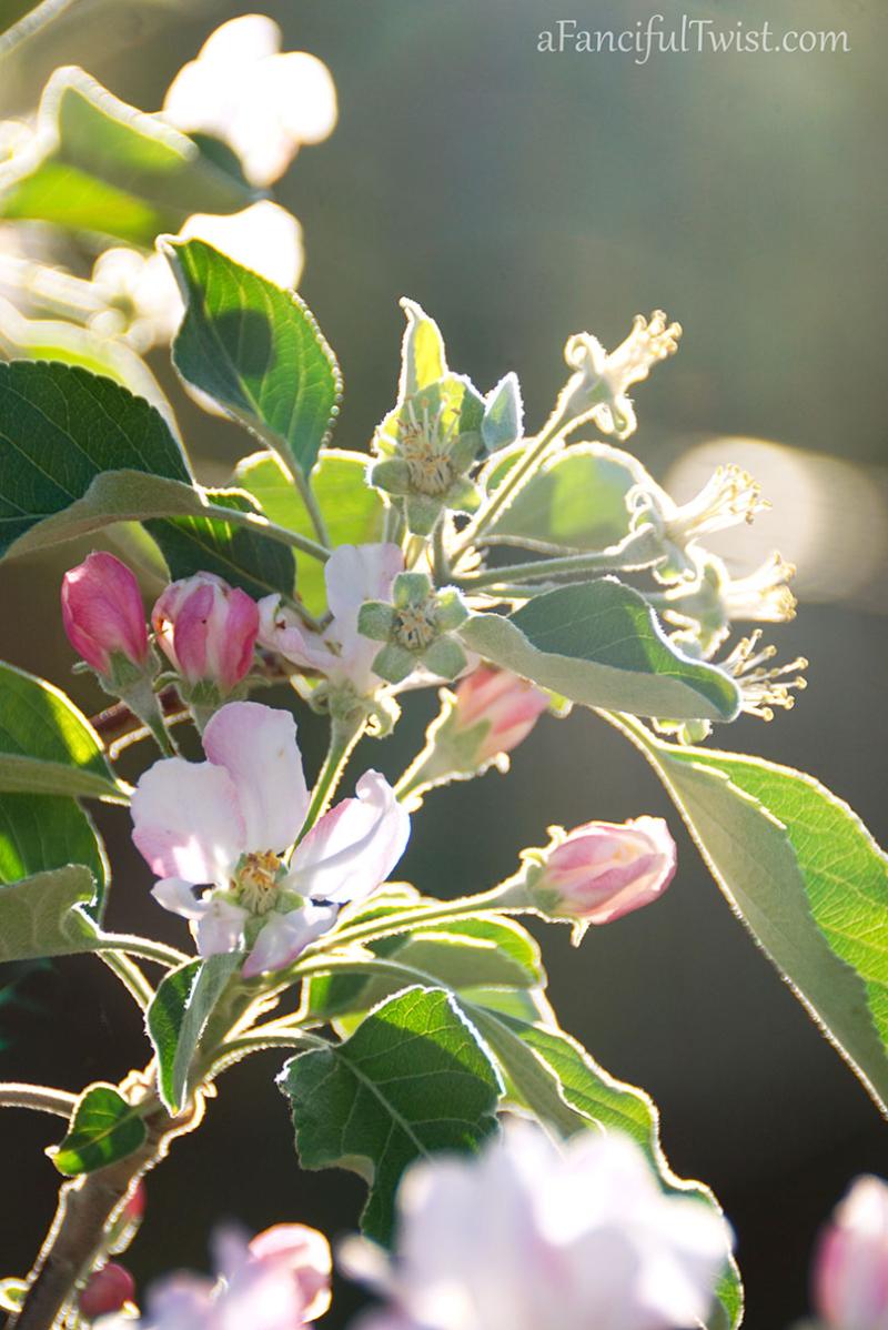 Apple spring 1