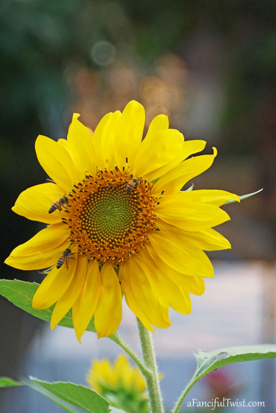 Sunflower summer 4
